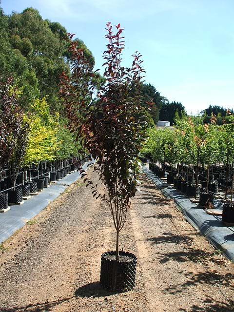 Prunus Oakville Crimson Spire